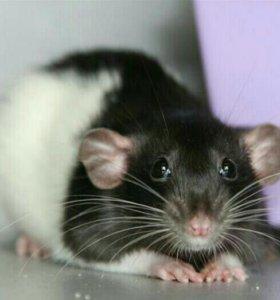 Крысы дамбо и хаски