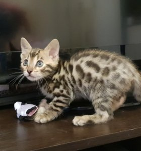 Бенгальские котята, родились 7.04.18