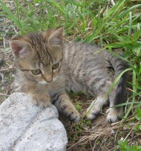 котята от сибирских кошек.
