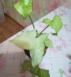 Комнатный цветок - Сингониум