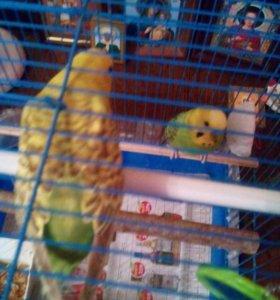 Пара попугайчиков волнистых