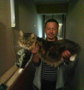 Шикарный кот мейн-кун на вязку))
