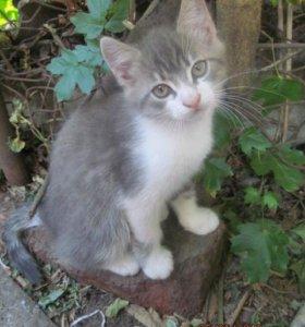 котёнок - мальчик, 2 месяца, пушистый