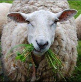 Продаем овец🐑 Овце-маток, ягнят. Разные породы.