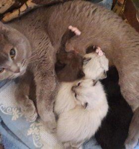 Котята веслоухие