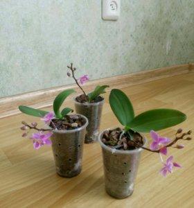 Орхидея Эквестрис
