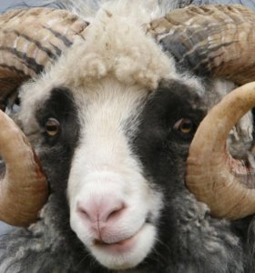 Живьем или на Мясо Овцы Ярки Ягнята Баран