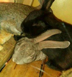 Кролики 1,5 - 2 мес. Для разведения.