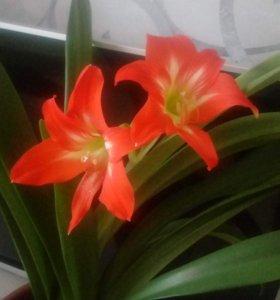 Амариллис (цветок в горшке)