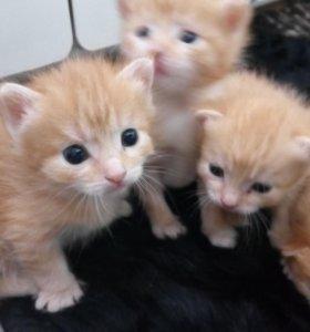 Рыжие котята привлекают в дом деньги