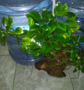 Анубиас на коряге железного дерева