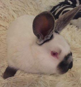 Крольчата калифорния