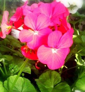 Растения(герань)