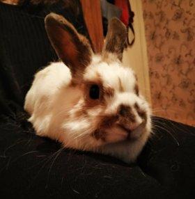 Декоративнай кролик
