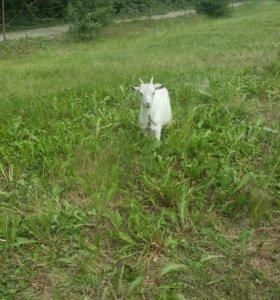 Козлята и коза