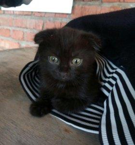 Котята Вислоухие ( девочки ) БЕСПЛАТНО
