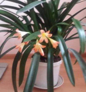 продаю комнатные растения с цветом