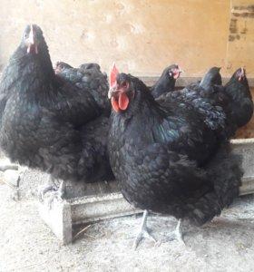 Петух и три курицы