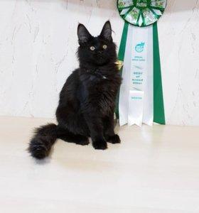 Кошка мейн-кун,Возможен торг