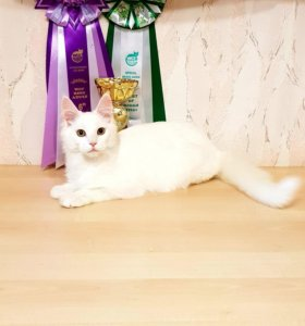 Кошка мейн-кун(Уместен торг)
