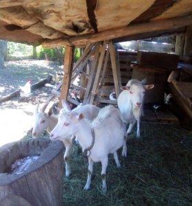 Козел, козы, козлята