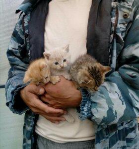 Отдам котят (смесь с персидской кошкой)