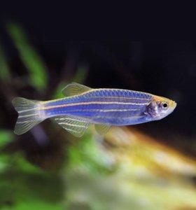 Рыбки данио синие