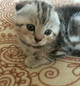 Шотландские котята, вислоухие и прямоухие