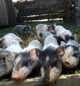 Въетнамские свиньи