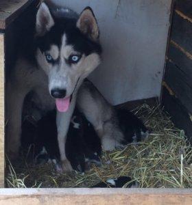 Продам щенков сибирской хаски:)))
