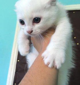 Котята от британской вислоухой кошки