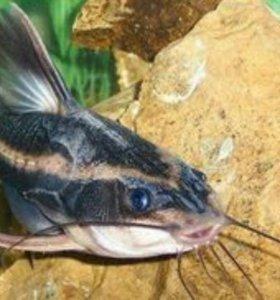 Продам хищных рыб
