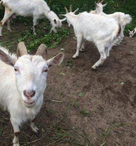Коза,козлы и козлята