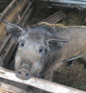 Свиньи,хряк,поросята