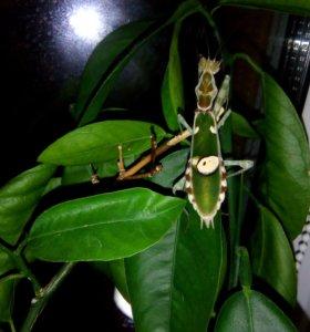 Цветочный богомол - Creobroter gemmatus.