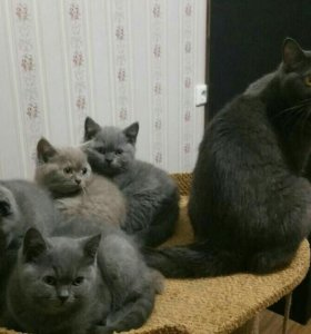 Британские котята с документами