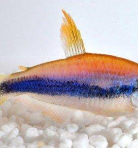 Фиолетовый неон керри (Inpaichthys kerry)