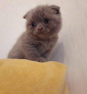 Британские котёнок