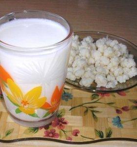 Молочный гриб