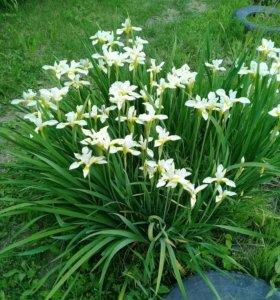 Ирисы мелкоцветковые