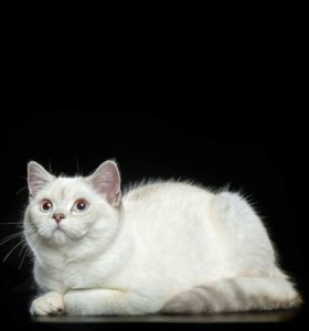 Британский котик шиншилла пойнт