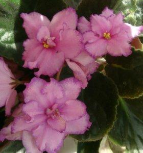 Продам комнатные цветы, фиалки