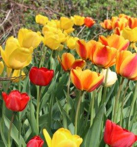 Тюльпаны,  мускари махровые.Луковицы