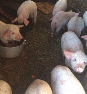 Поросята белая свинина