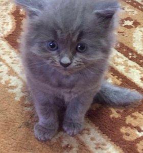Котёнок пушистый от сибирской кошки