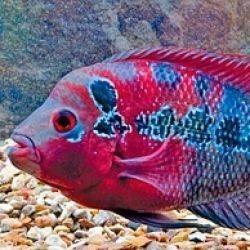 Рыбки флауэрнхорн
