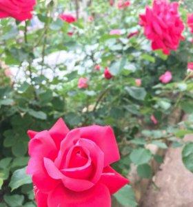 Роза срезочная