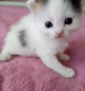 Отдам в добрые руки котят, девочки трёхцветные.