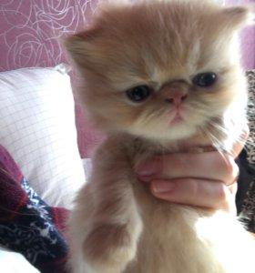 Котёнок экзот