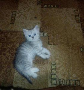 Продаю Шотландских котята